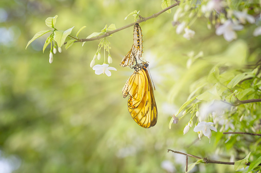 Emerged yellow coster butterfly ( Acraea issoria ) with chrysalis shell hanging on white flower twig 1074074546