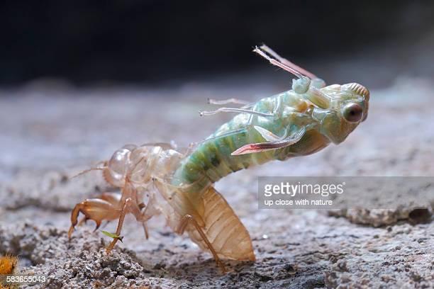 Emergence of an unidentified cicada, Malaysia