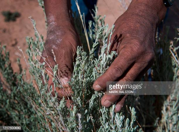 Emerson Gorman who is a Navajo elder harvests a sage plant at his property near the Navajo Nation town of Steamboat in Arizona on May 23 2020 Emerson...