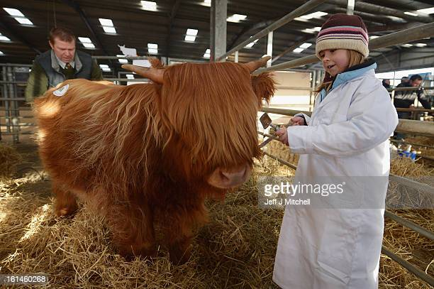 Emily Armstrong aged 7 from Tiree prepares a calf for show as farmers gather for the 122nd Highland Cattle Society spring sale at Oban Livestock...