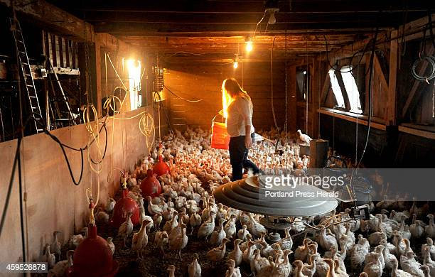 Emily Greaney feeds the nearly 1000 turkey chicks before heading off to Skowhegan Area High School where she is a senior for the first day of school...