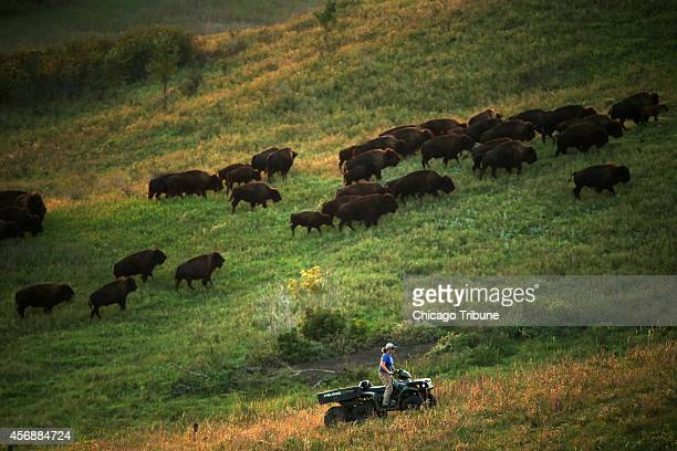 Emily Hohman the western Iowa land steward for the Nature Conservancy uses a fourwheeler to round up a herd of bison and drive them into a trap...