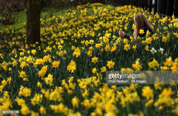 Emily Rhodes from Cambridge enjoys the early spring weather as Daffodils bloom along the banks of the river Cam in Cambridge