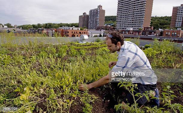 Emmanuel Cosgrove does some weeding on his rooftop garden 09 August 2007 in Montreal Quebec Canada Cosgrove's home is ECO friendly and he grows his...