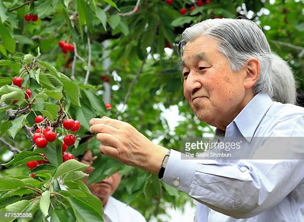 Emperor Akihito harvests cherries 'SatoNishiki' at Tenkoen orchard on June 18 2015 in Higashine Yamagata Japan