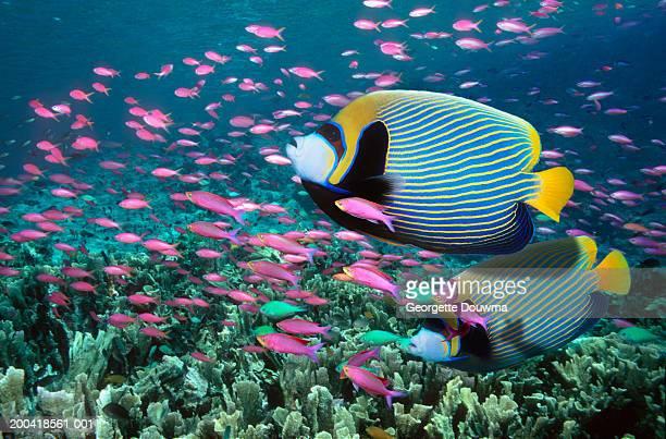 Emperor angelfish and Purple queen over coral reef (Digital composite)