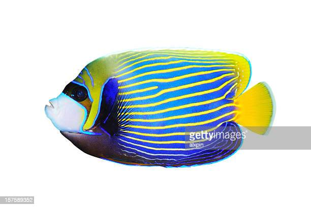 Emperor Angelfish on white background facing left