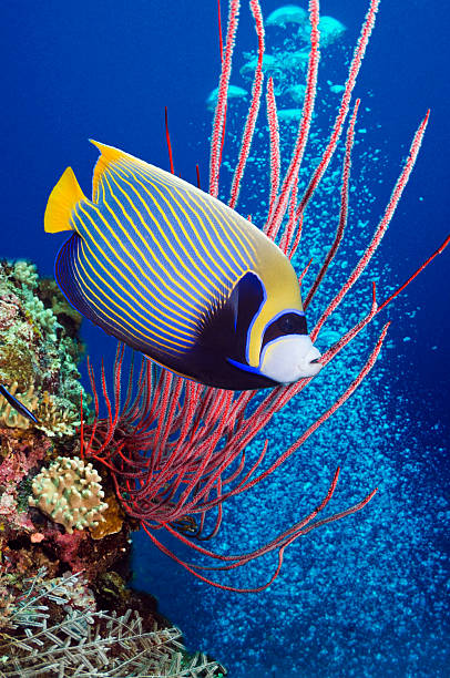 Emperor angelfish (Pomacanthus imperator) swimming