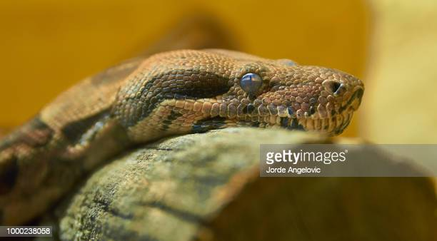 emperor boa - boa constrictor stock photos and pictures
