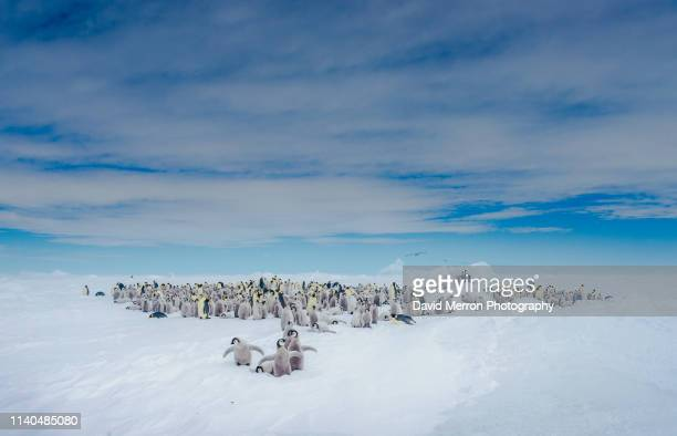 emperor chicks in the colony - south shetland islands stock pictures, royalty-free photos & images