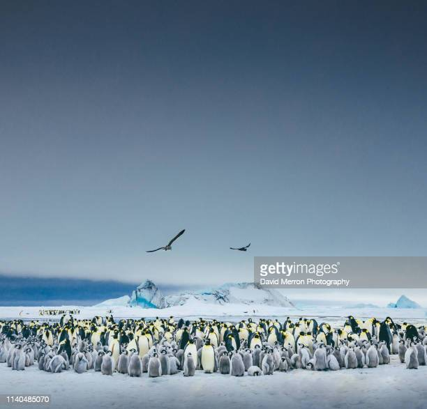 emperor colony - emperor penguin chick stock pictures, royalty-free photos & images