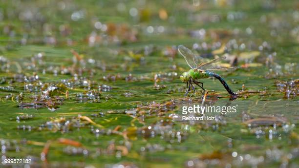 Emperor dragonfly (Anax imperator), adult female laying eggs on water plants, Burgenland, Austria
