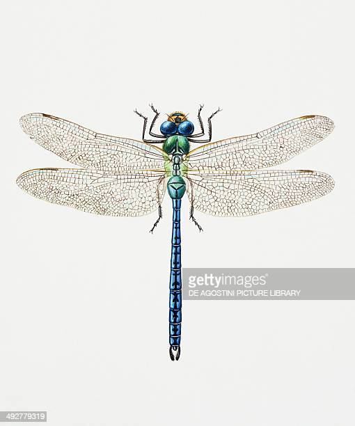 Emperor dragonfly Aeshnidae Artwork by Sandra Pond
