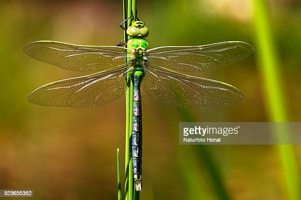 Emperor Dragonfly (Anax imperator) after metamorphosis on aquatic plant