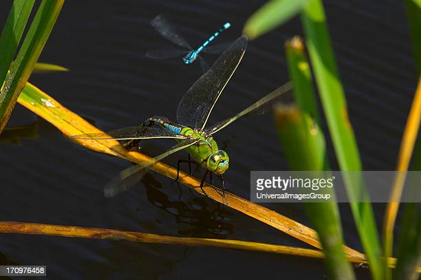 Emperor Dragonfly Anax Imperator female laying eggs Denmark