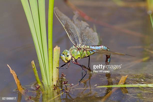 Emperor Dragonfly -Anax imperator-, female, ovipositing in water, South Wales, United Kingdom