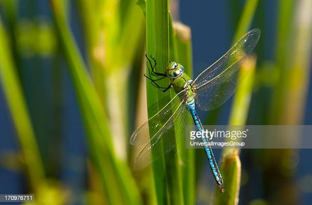 Emperor Dragonfly Anax Imperator male resting on plant Denmark