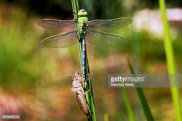 Emperor Dragonfly (Anax imperator) and exuvia after metamorphosis on aquatic plant