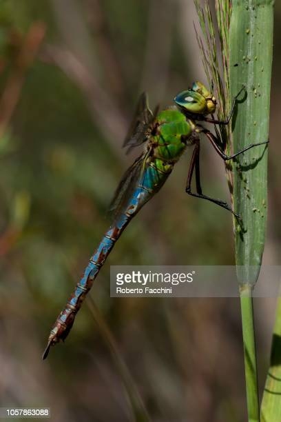 Emperor Dragonfly (Anax imperator) at corn stalk, Aosta Valley, Italy