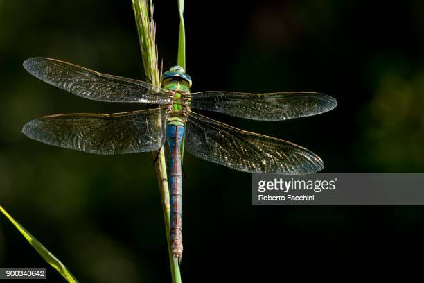 Emperor Dragonfly (Anax imperator), Les Iles Natural Reserve, Aosta Valley, Italy