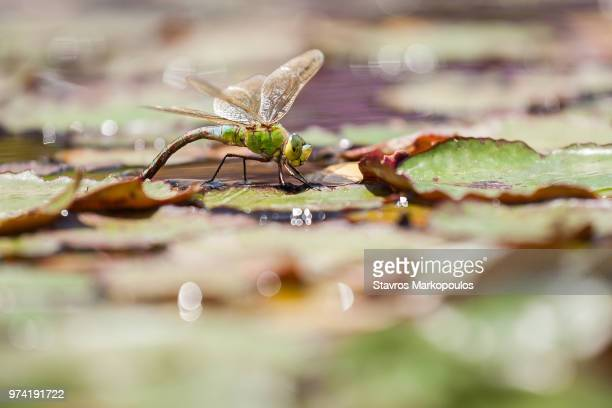 emperor dragonfly on leaf, heraklion, crete, greece - pianta acquatica foto e immagini stock