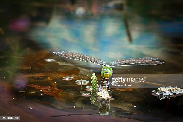 Emperor Dragonfly or Blue Emperor -Anax imperator-, female laying eggs, Gartenteich Schmellwitz, Cottbus, Brandenburg, Germany