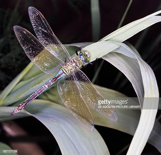 Emperor Dragonfly or Blue Emperor Odonata