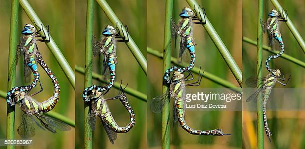 Emperor Dragonfly (Anax imperator) pair mating