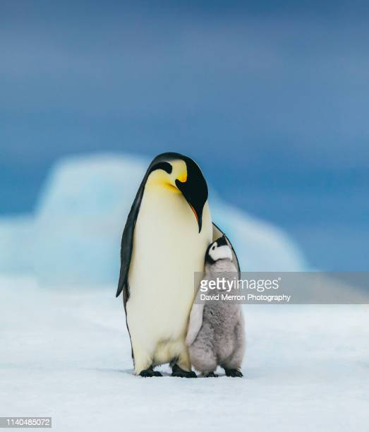emperor family - young animal stock pictures, royalty-free photos & images