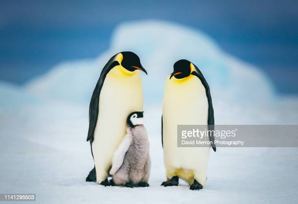 emperor family - emperor penguin chick stock pictures, royalty-free photos & images