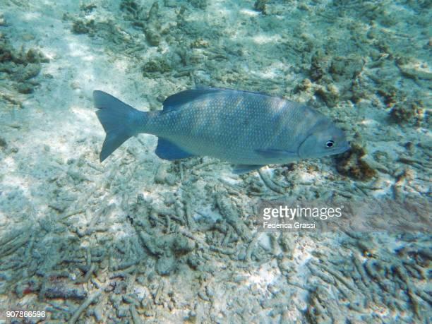Emperor Fish (Lethrinus nebulosus)