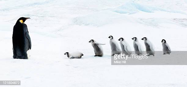 emperor penguin adult and  chicks in the snow - emperor penguin chick stock pictures, royalty-free photos & images