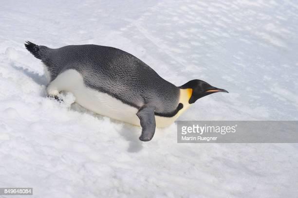 Emperor Penguin (Aptenodytes forsteri) adult slip down a hill of snow.