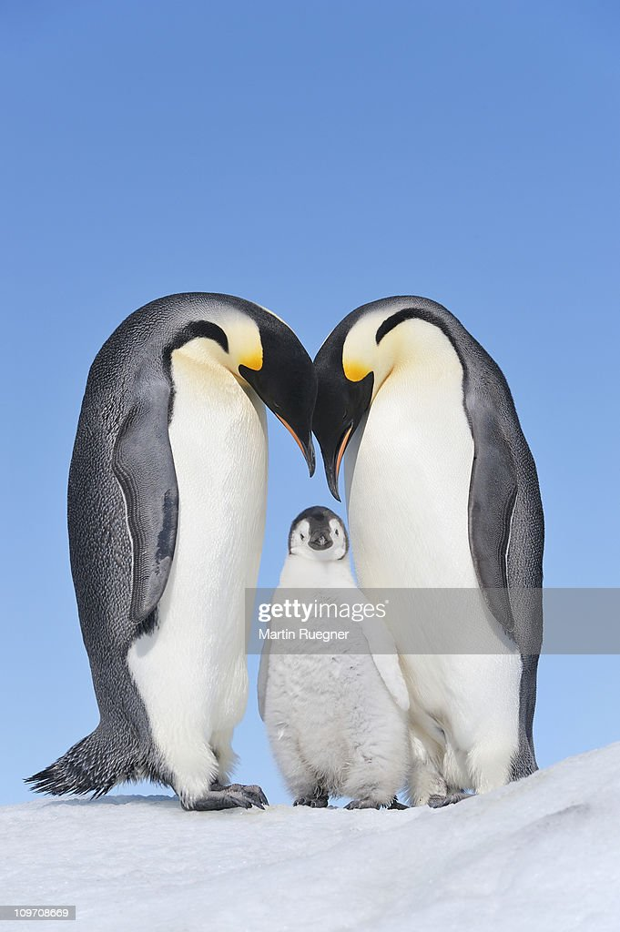 Emperor Penguin adults and chick. : Stock Photo