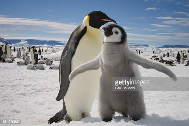 emperor penguin and chick in antarctica - rookery stock pictures, royalty-free photos & images
