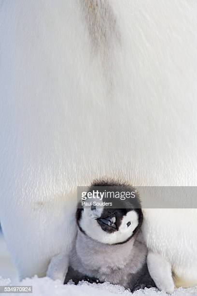emperor penguin and chick in antarctica - two animals stock pictures, royalty-free photos & images