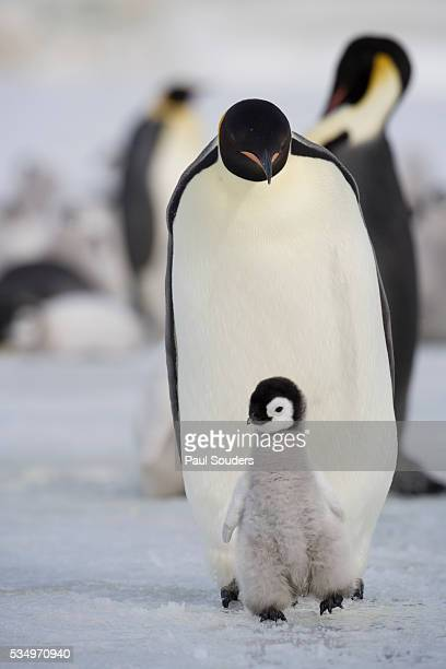 emperor penguin and chick in antarctica - snow hill island stock photos and pictures
