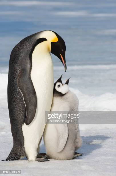 Emperor Penguin, Aptenodytes forsteri, adult and chick Snow Hill Island Weddell Sea, Antarctica.