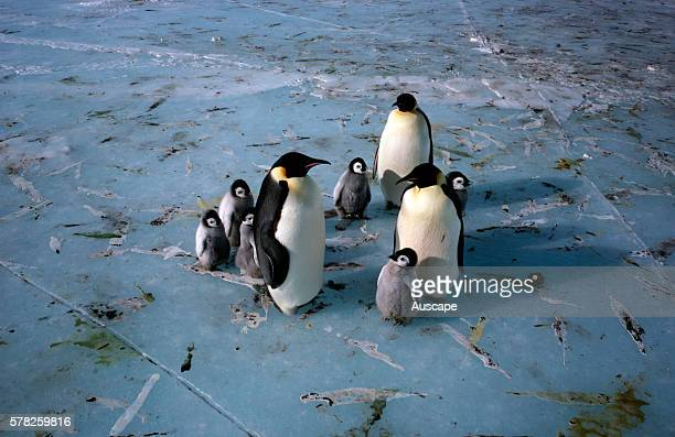 Emperor penguin, Aptenodytes forsteri, adults and chicks, Feces spread on sea ice, Antarctica.