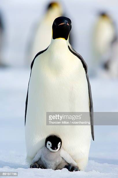 emperor penguin aptenodytes forsteri and chick, snow hill island, weddell sea, antarctica, polar regions - emperor penguin chick stock pictures, royalty-free photos & images