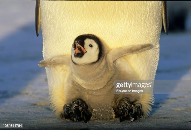 Emperor Penguin Aptenodytes forsteri chick on parents feet begging for food Weddell Sea Antarctica