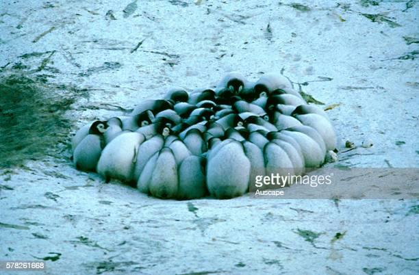 Emperor penguin Aptenodytes forsteri chicks huddling to keep warm Antarctica