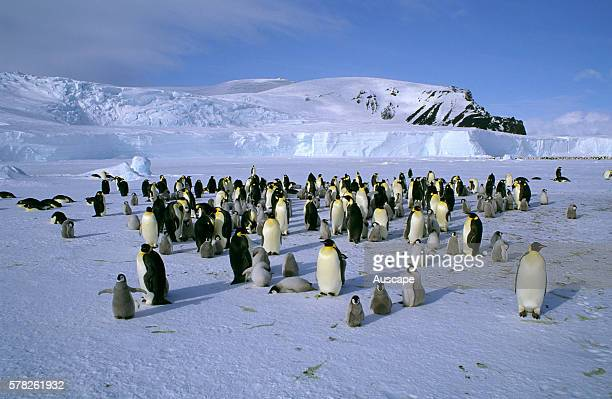 Emperor penguin Aptenodytes forsteri colony adults and chicks Cape Roget Ross Sea Antarctica