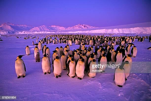 Emperor penguin Aptenodytes forsteri colony Cape Roget Ross Sea Antarctica