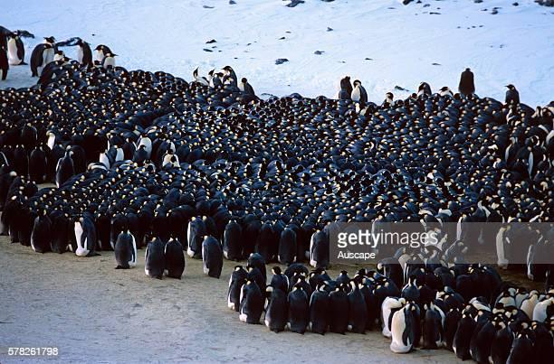 Emperor penguin Aptenodytes forsteri group huddled for warmth Antarctica