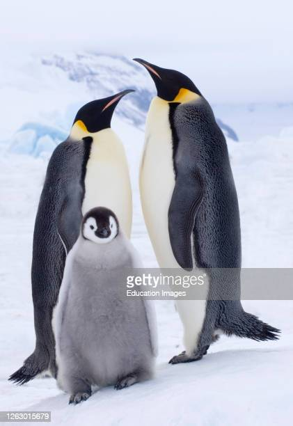 Emperor Penguin, Aptenodytes forsteri, pair with chick Snow Hill Island Weddell Sea, Antarctica.