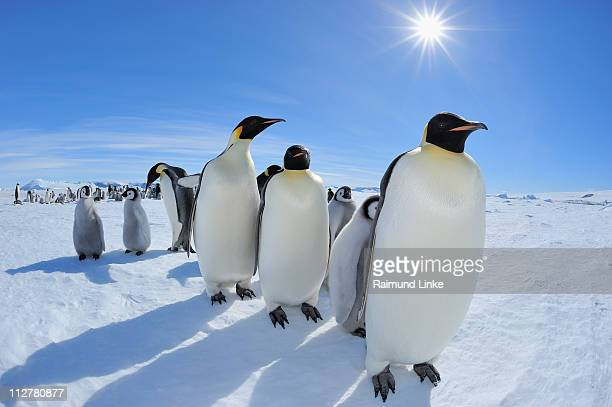emperor penguin, aptenodytes forsteri - antarctica stock pictures, royalty-free photos & images