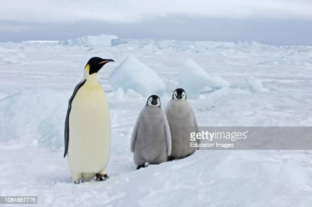 Emperor Penguin Aptenodytes forsteri Snow Hill Island Weddell Sea Antarctica