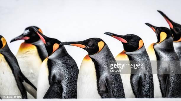 Emperor Penguin, Asahikawa, Hokkaido, Japan