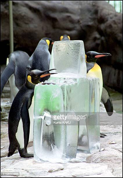 Emperor Penguin At Tokyo'S Zoo In Tokyo Japan On August 08 2000 Emperor penguins gather together to cool down next to large block of ice the...
